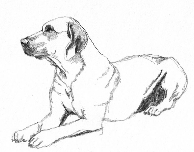 dog-sketches-rhodesian-ridgeback